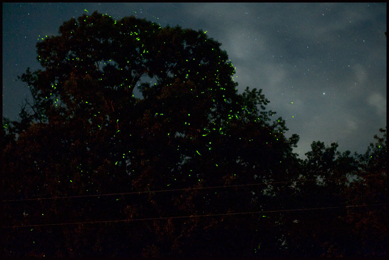 fireflies in a tree at night.