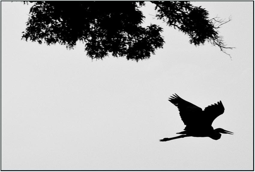 heron & quercus alba