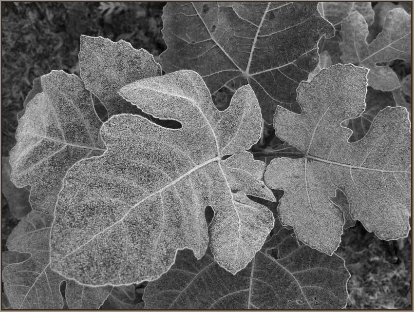 frost on fig leaf