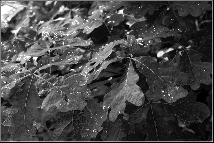 quercus alba