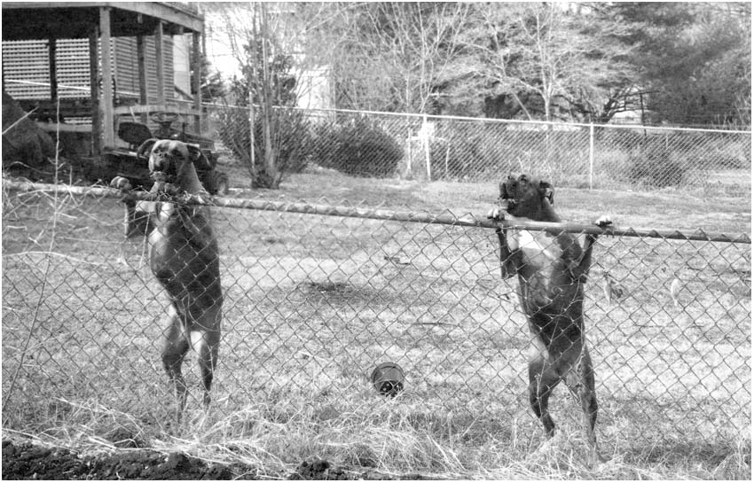 fence leaning boxer dogs