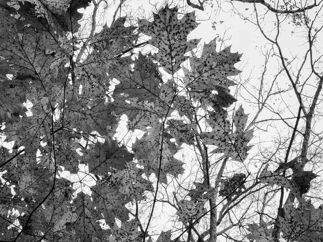 oak leaves against the sky