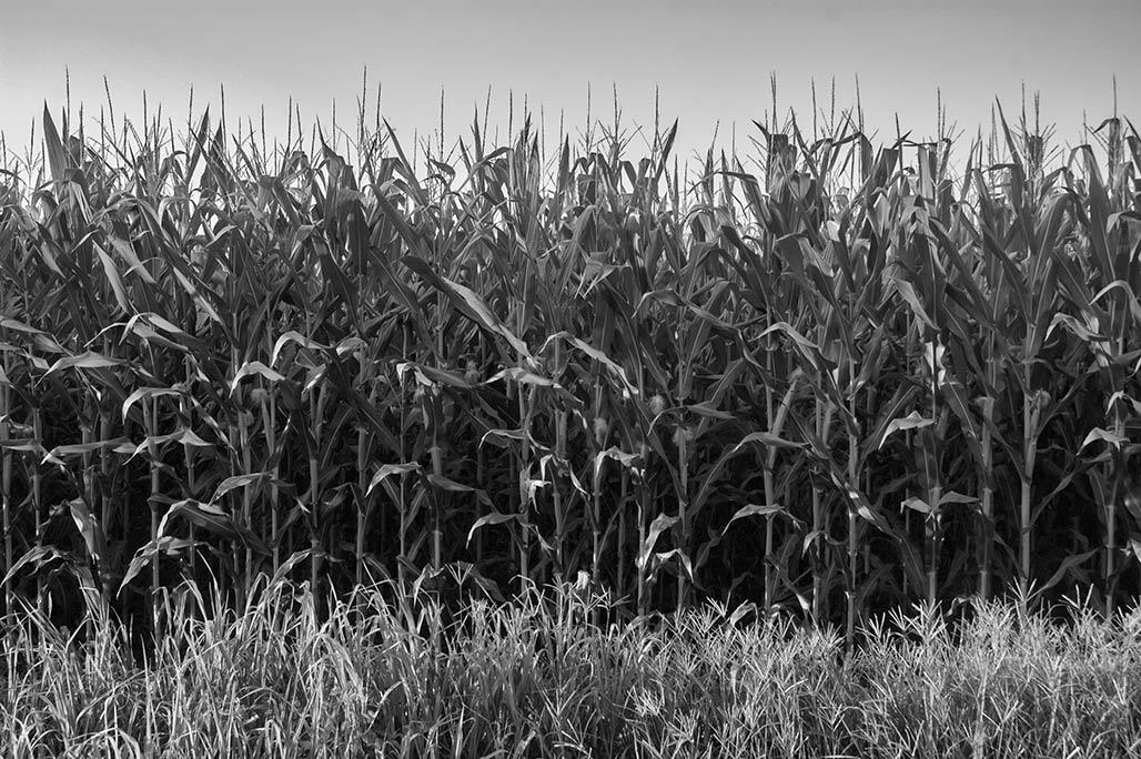 cjl1411-corn
