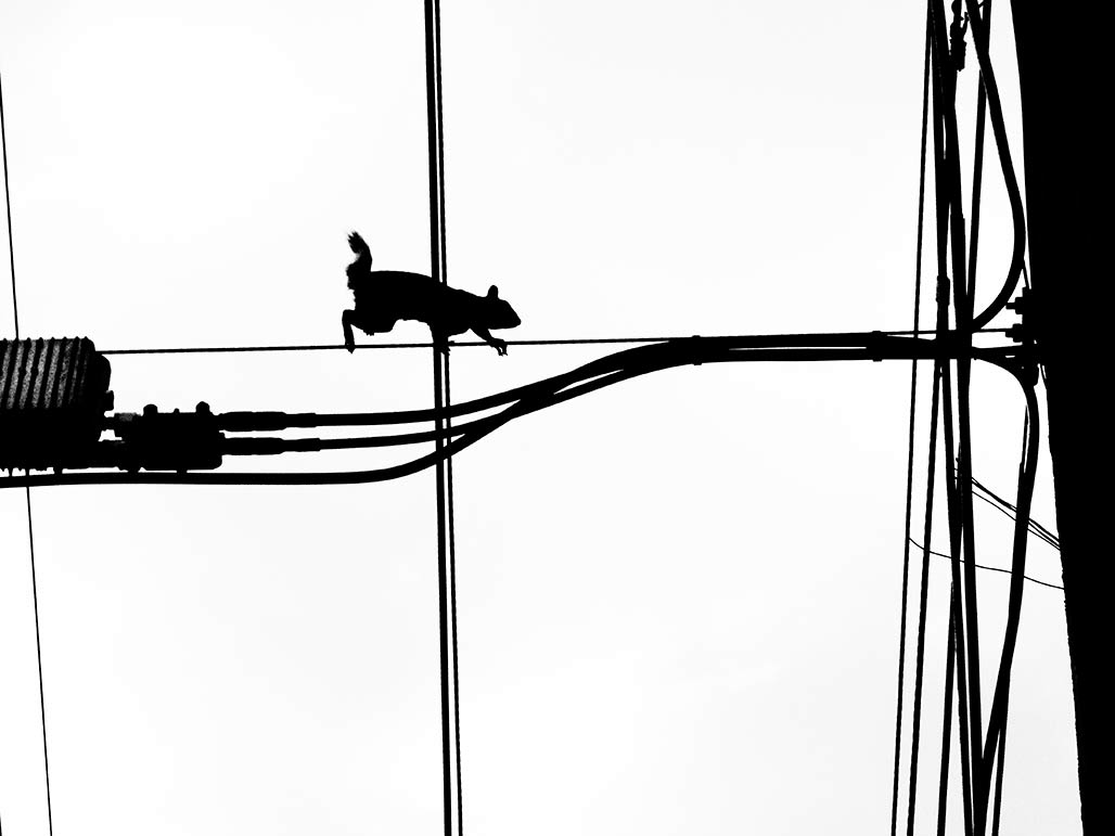 squirrel on a wire