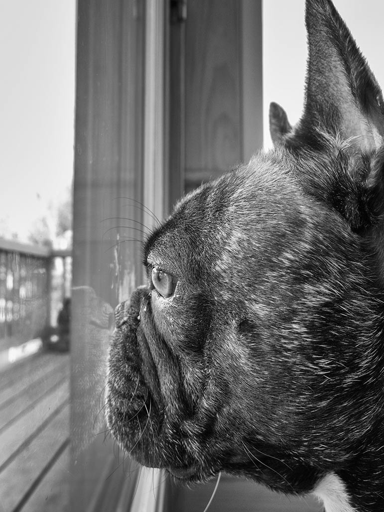 Toulouse the bulldog