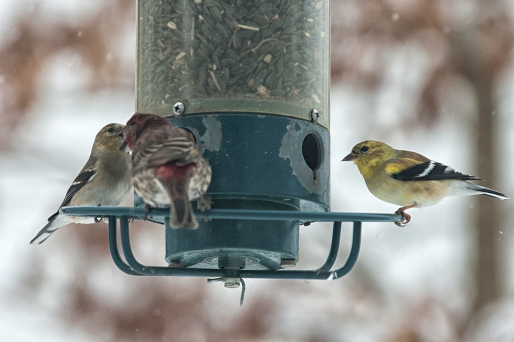 finches?