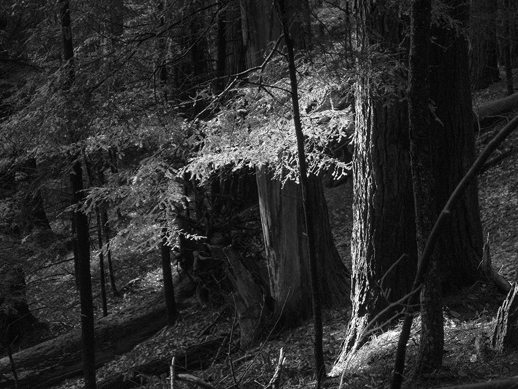 white pine?