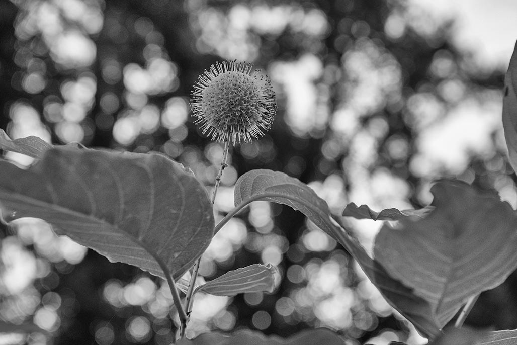 Ethnobotanic: Native Americans used common buttonbush medicinally. Decoctions of the bark were used as washes for sore eyes, antidiarrheal agents, anti-inflammation and rheumatism medications, skin astringents, headache and fever relievers, and venereal disease remedies. The bark was also chewed to relieve toothaches. Roots were used for muscle inflammation and as blood medicines.