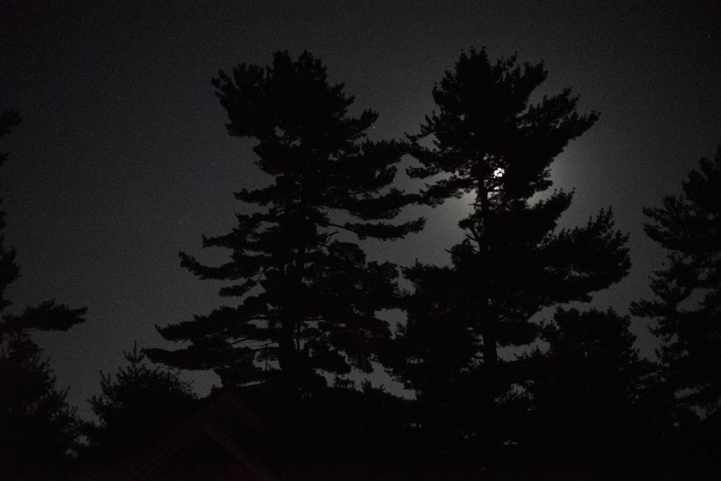White pines near Marshall Virginia. Waning gibbous moon.