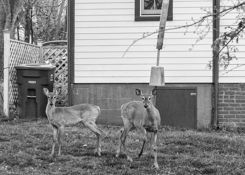 I wonder if the front yard curators continue to feel the need to include the deer?