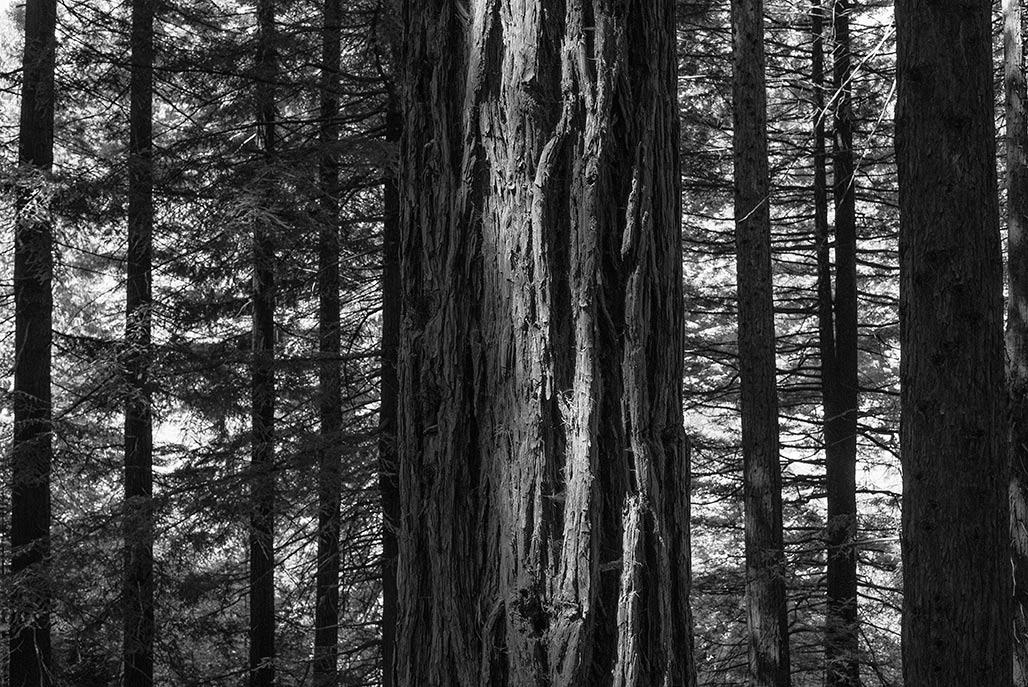 hoyt trees