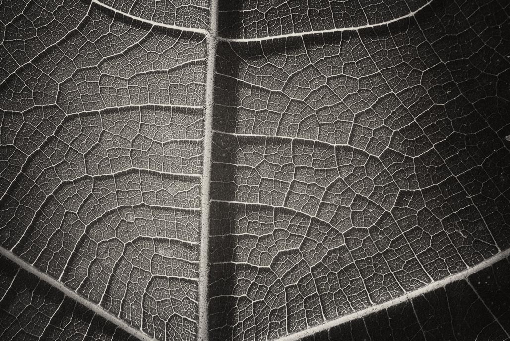 fig leaf detail