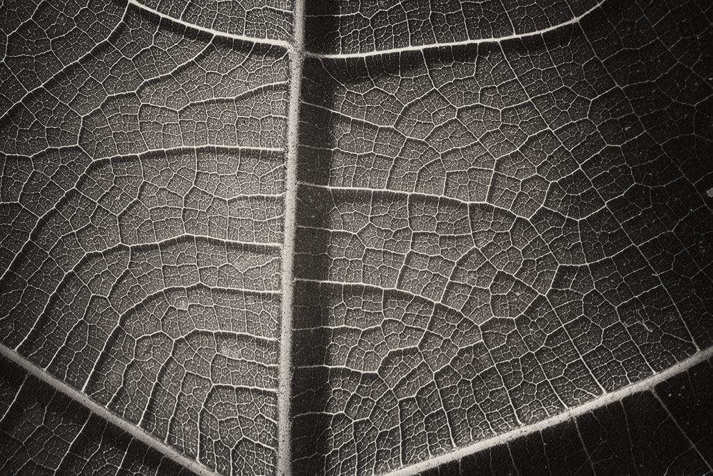 fig leaf detail
