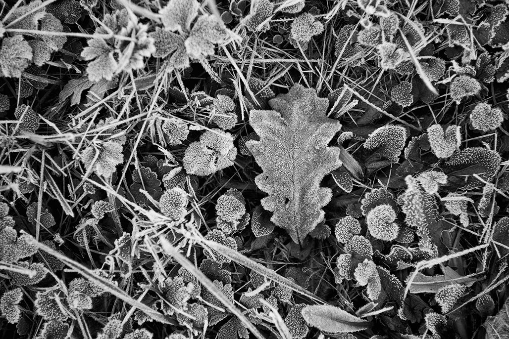 oak leaf on the ground.