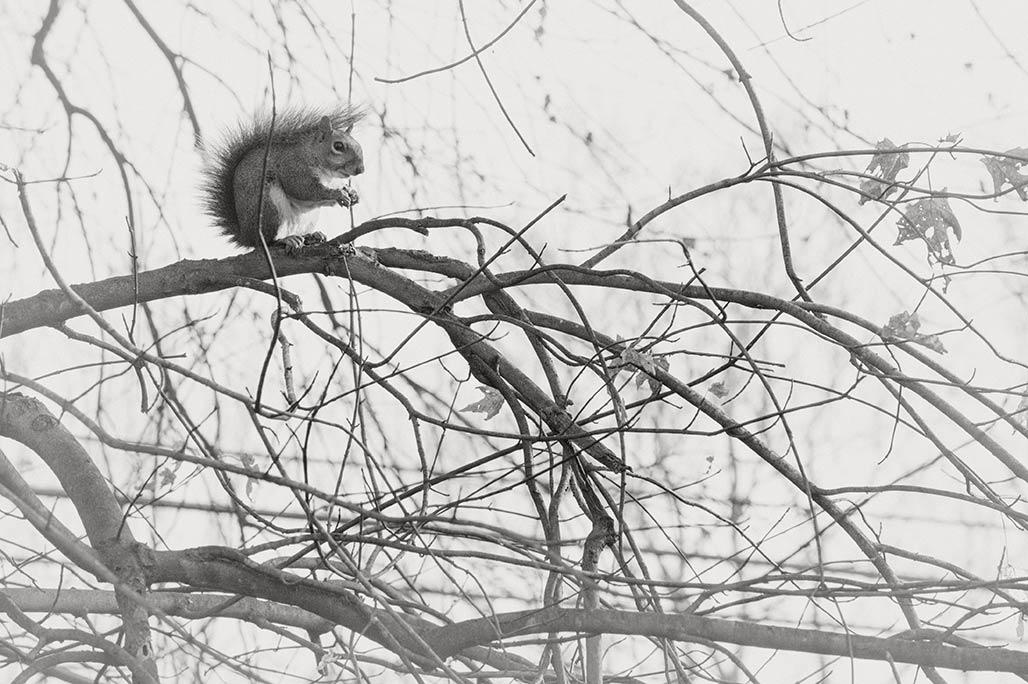 silver maple grey squirrel