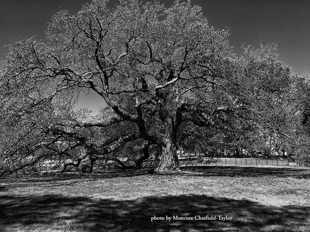 Emancipation Oak, photo by Moncure Chatfield-Taylor
