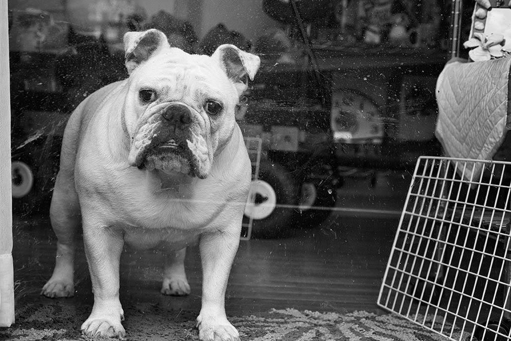 bulldog, USMC Mascot