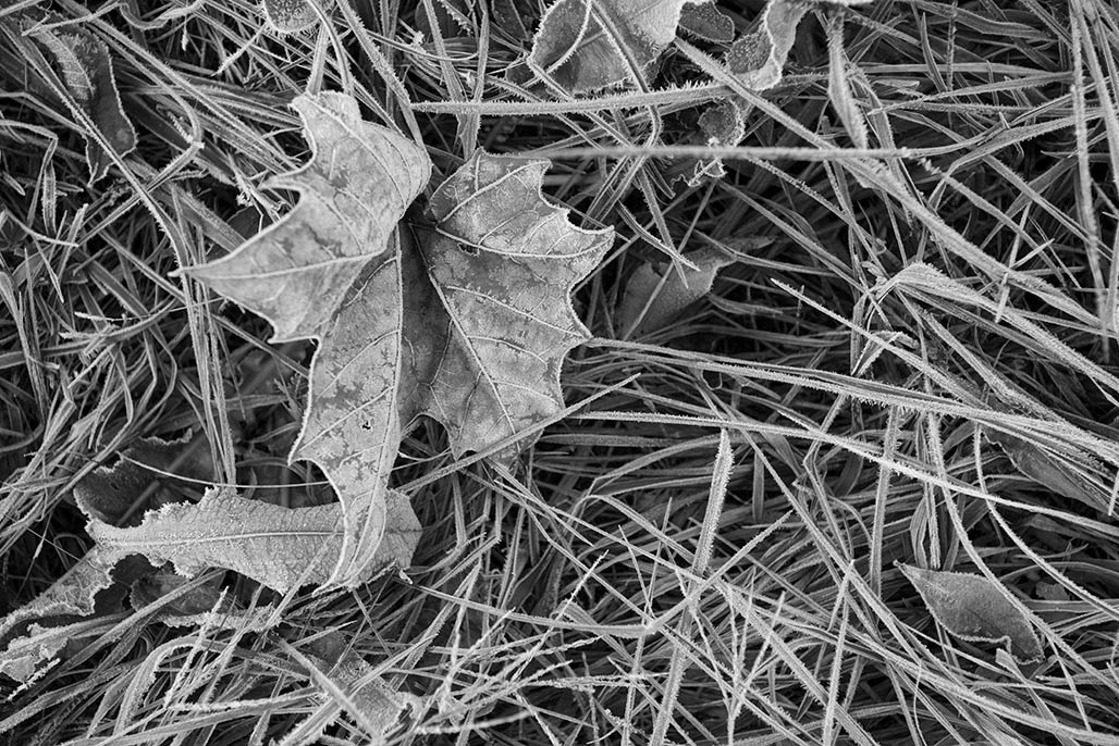 sycamore leaf frost