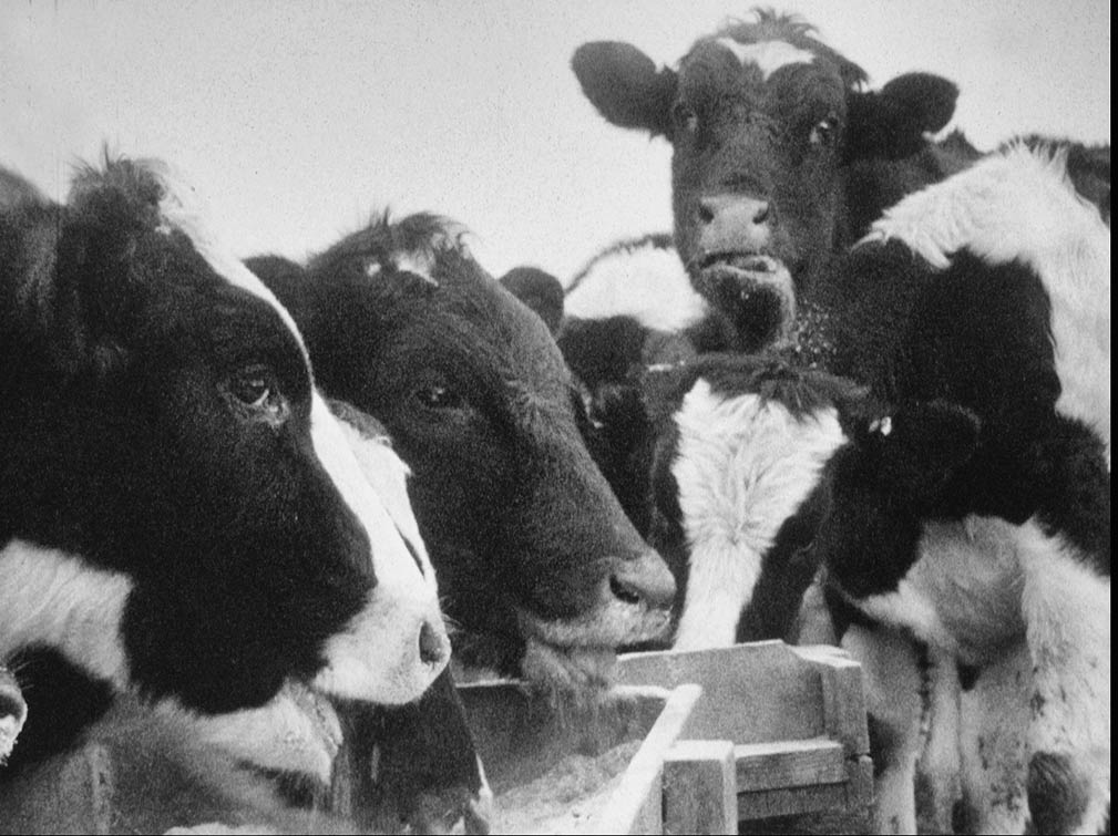 16mm frame from winter feeding, Rosni Farm, Madison County Virginia, 1977. At the time Rosni had the oldest registered herd of Holsteins in the state. More photos here.