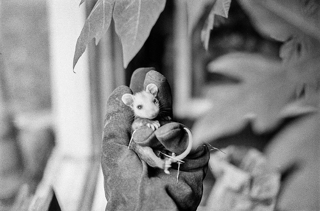Fritz the possum