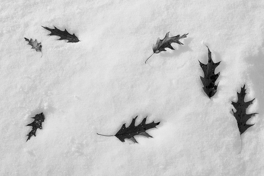 seven leafs seven lobes