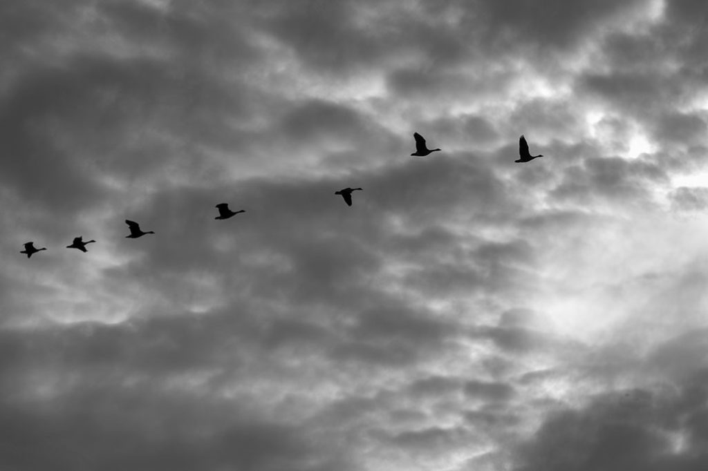 seven geese flying