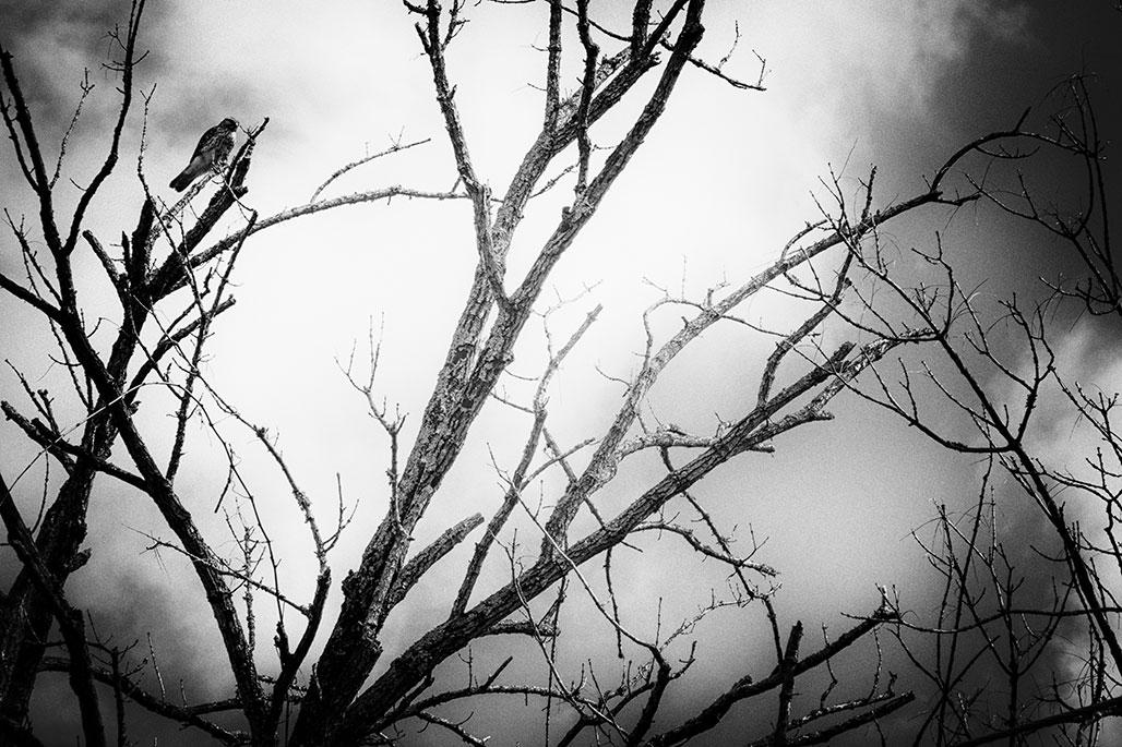 Buteo jamaicensis hawk.
