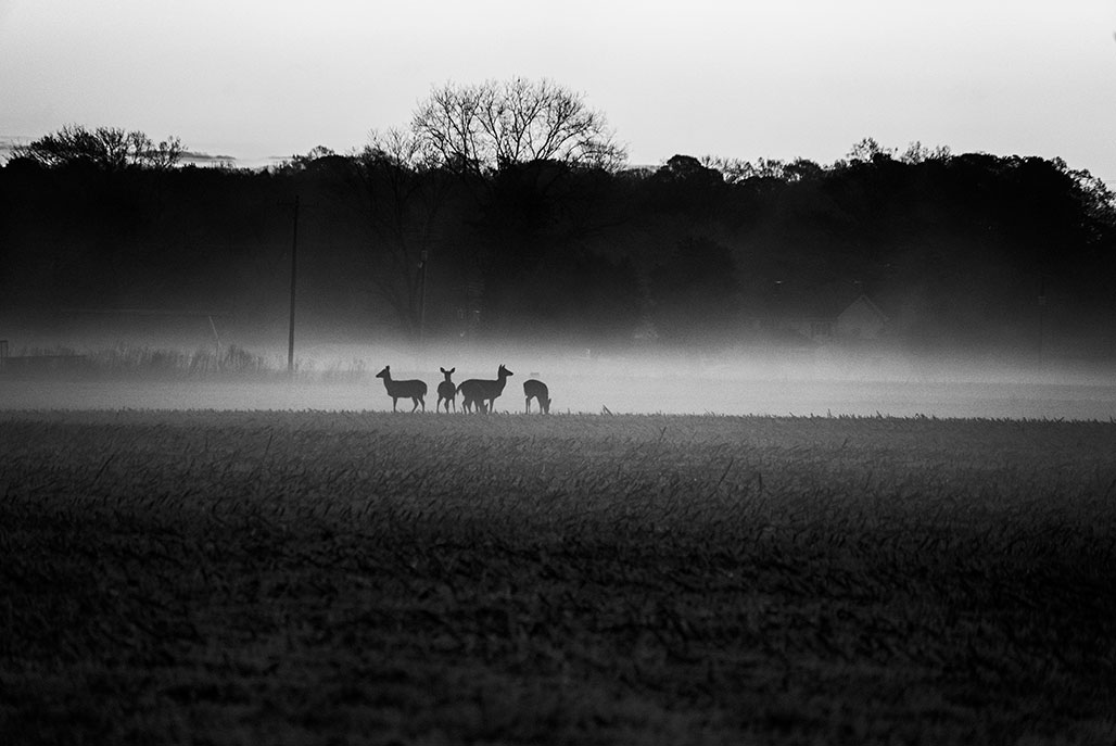 deer in ground fog