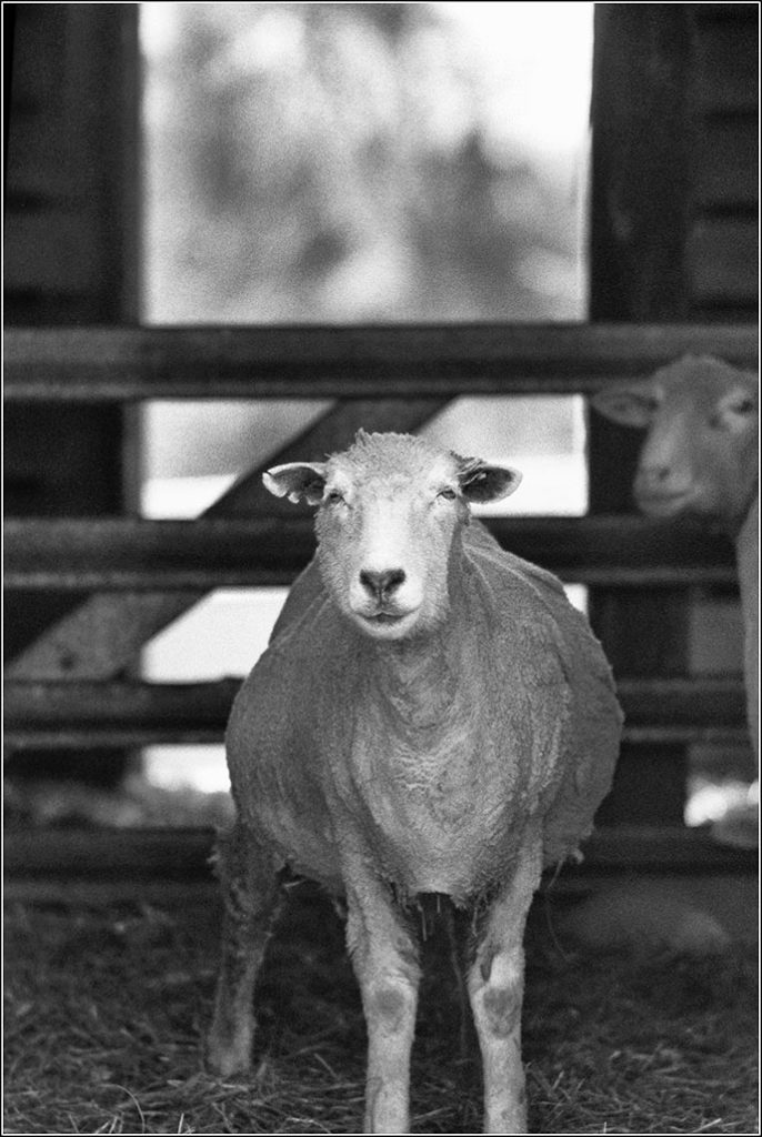 singular and plural the same word two sheep not two sheeps