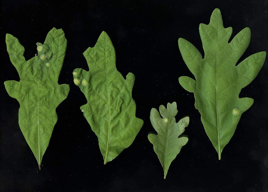 q alba leaves
