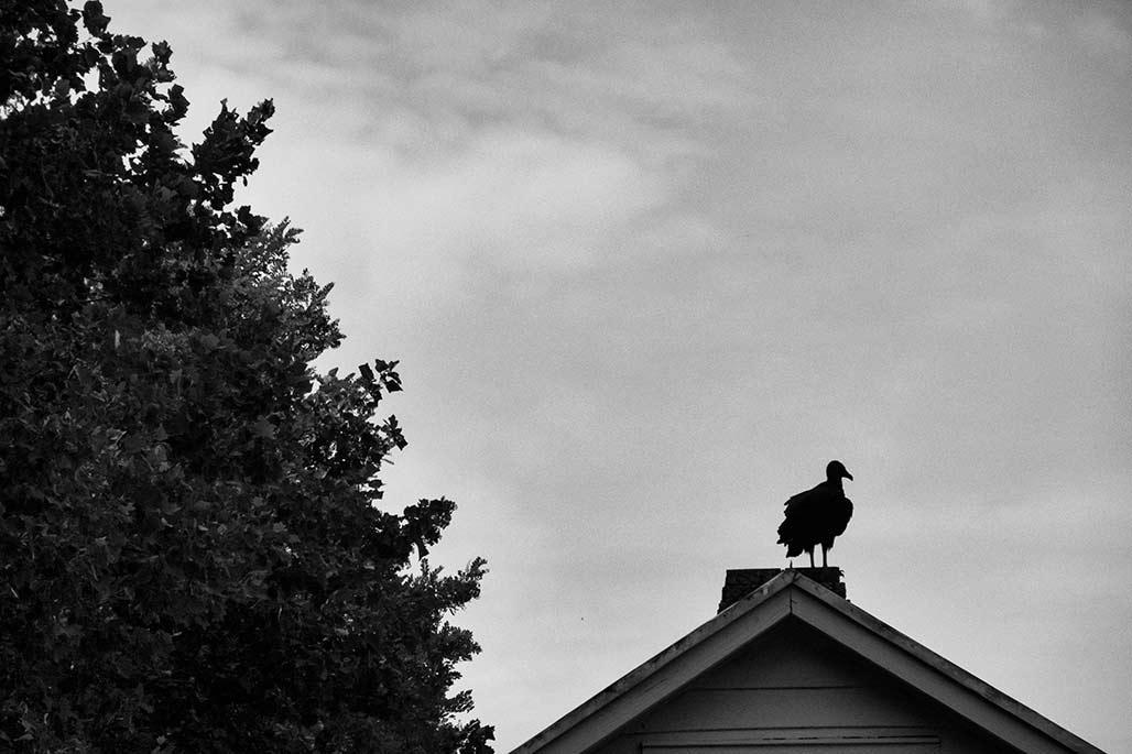buzzard on chimney