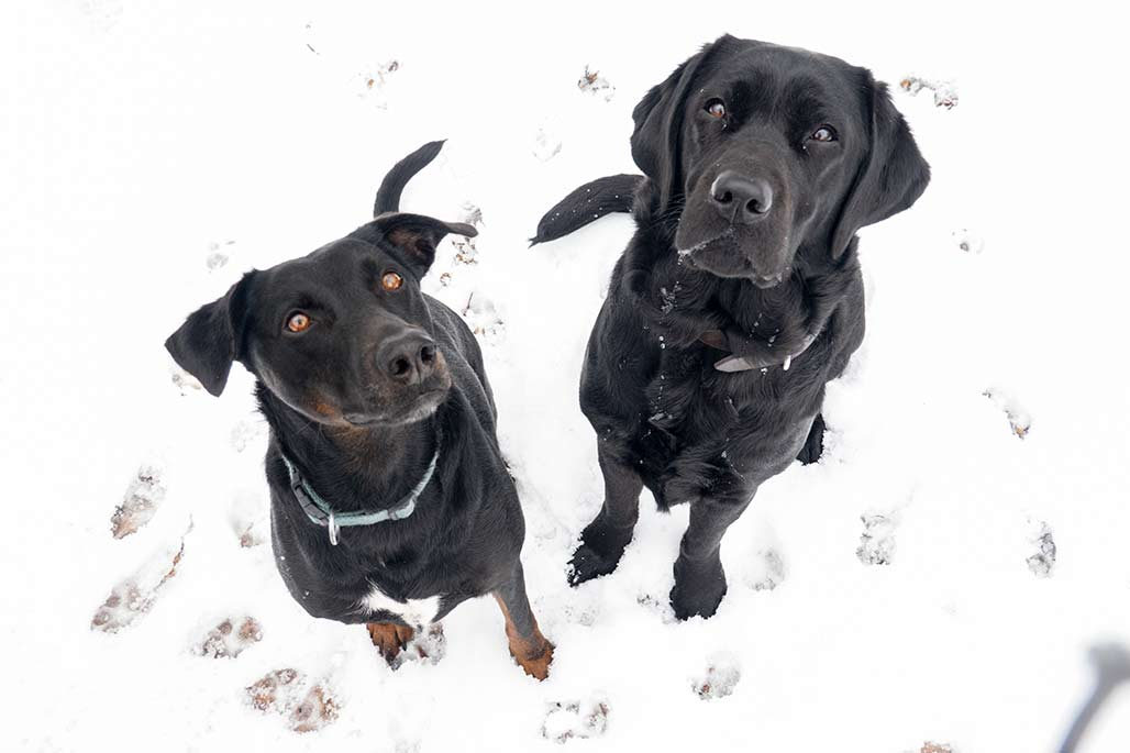 black dogs in the snow